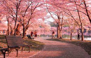 Festival de cerezos durante la primavera en Estados Unidos.